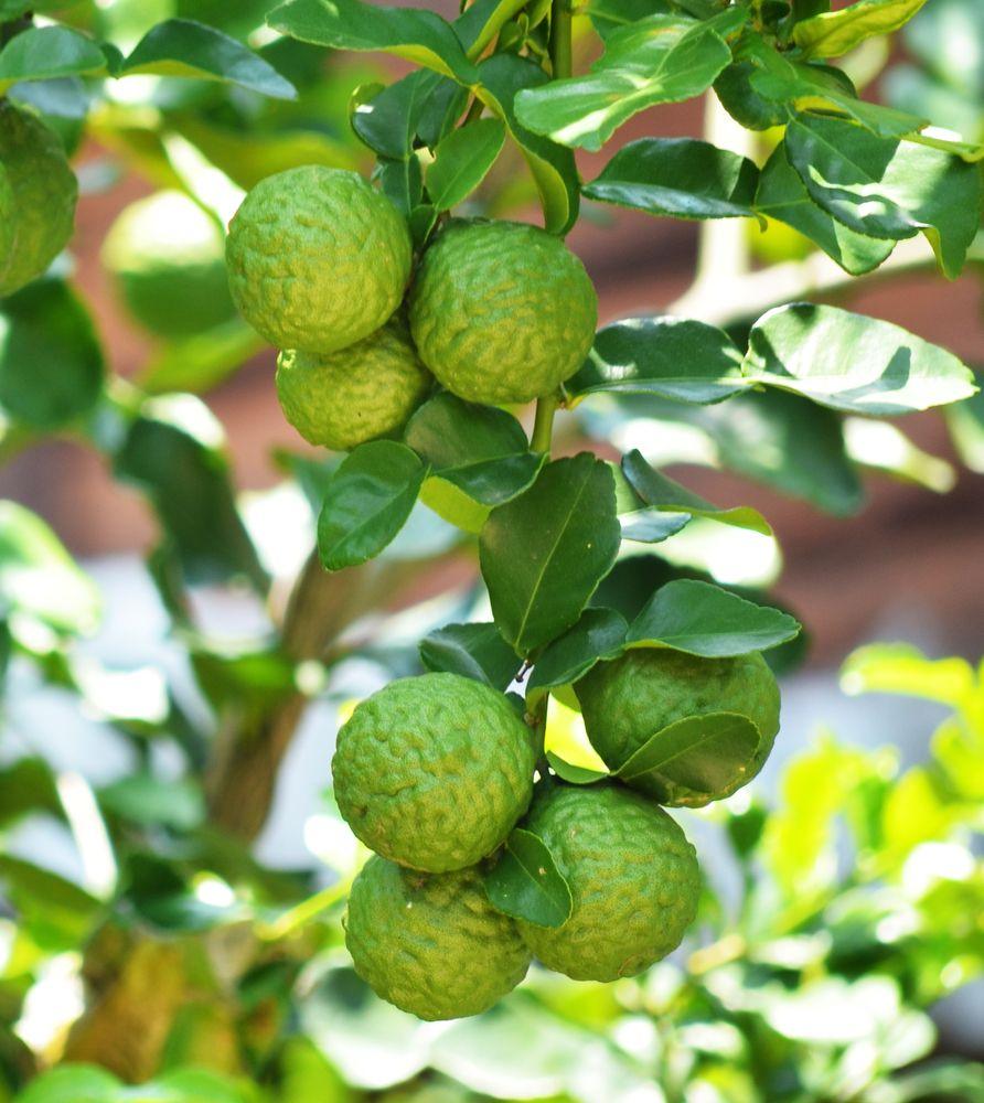 Bergamot Agacı