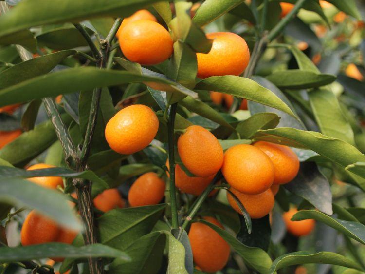 Kamkat Ağacı ve Meyvesi